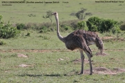 001.001.Struthio-camelus002.Female.Masai-Mara.Kenia_.11.12.2014