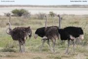 Struthio-camelus009.Etosha-N.P.Namibia.22.02.2014