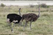 Struthio-camelus010.Etosha-N.P.Namibia.22.02.2014