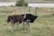 Struthio-camelus011.Etosha-N.P.Namibia.22.02.2014