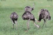 Rhea_americana003.Pantanal.Brazylia.19.11.2013