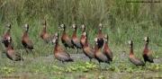 Dendrocygna_viduata007.Murchison_Falls_N.P.Uganda.19.11.2012