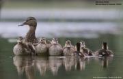Anas-platyrhynchos009.Chicks.Lipowo.Jez_.Majcz_.26.05.2019
