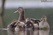 Anas-platyrhynchos010.Chicks.Lipowo.Jez_.Majcz_.26.05.2019