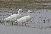 008.018.Coscoroba coscoroba001.Punta Arenas area.Chile.7.02.2019
