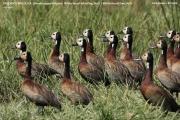 008.001.Dendrocygna_viduata001.Awasa_Lake.Etiopia.12.11.2009