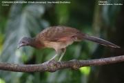 010.029.Ortalis cinereiceps001.Selva Verde Lodge.CR.3.12.2015