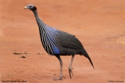 Acryllium_vulturinum005.Sagala_Lodge.Tsavo_East_N.P.Kenia.PJ.23.09.2011