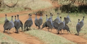 Acryllium_vulturinum010.Mpala_R.C.Kenia.2.12.2014