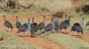 Acryllium_vulturinum011.Mpala_R.C.Kenia.2.12.2014