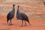 Acryllium_vulturinum002.Sagala_Lodge.Tsavo_East_N.P.Kenia.PJ.23.09.2011