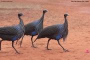 Acryllium_vulturinum006.Sagala_Lodge.Tsavo_East_N.P.Kenia.PJ.23.09.2011