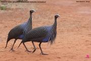 011.004.Acryllium_vulturinum001.Sagala_Lodge.Tsavo_East_N.P.Kenia.PJ.23.09.2011