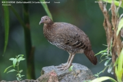 013.114.Gallus_lafayettii002.Female.Sinharaja_Forest_Reserve.Sri_Lanka.25.11.2018