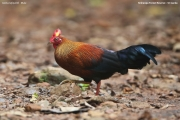 Gallus_lafayettii006.Male.Sinharaja_Forest_Reserve.Sri_Lanka.26.11.2018