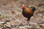 Gallus_lafayettii003.Male.Sinharaja_Forest_Reserve.Sri_Lanka.26.11.2018