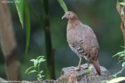 Gallus_lafayettii008.Female.Sinharaja_Forest_Reserve.Sri_Lanka.25.11.2018