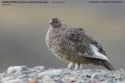 013.162.Lagopus muta002.Female.Longyearbyen.Spitsbergen.MJ.11.07.2018