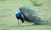 Pavo_cristatus006.Male.Bundala_NP.Sri_Lanka.3.12.2018
