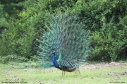 Pavo_cristatus011.Male.Bundala_NP.Sri_Lanka.3.12.2018