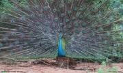 Pavo_cristatus014.Male.Bundala_NP.Sri_Lanka.3.12.2018