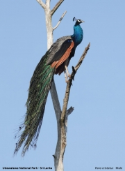 Pavo_cristatus024.Male.Udawalawe_NP.Sri_Lanka.29.11.2018