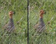 Peliperdix_coqui007.Male.Masai_Mara_N.R.Kenia.12.12.2014