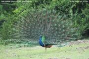 013.024.Pavo cristatus001.Male.Bundala NP.Sri Lanka.3.12.2018
