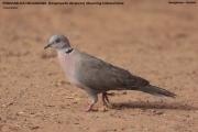 016.046.Streptopelia_decipiens001.Georgetown.Gambia.24.01.2009