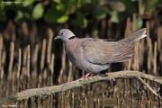 Streptopelia_decipiens004.Kotu.Gambia.18.01.2009