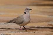 Streptopelia_decipiens006.Tsavo_East_N.P.Kenia.PJ.23.09.2011
