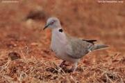 Streptopelia_decipiens007.Tsavo_East_N.P.Kenia.PJ.23.09.2011