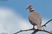 Streptopelia_decipiens008.L.Baringo.Kenia.PJ.8.12.2014