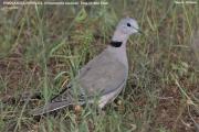 016.048.Streptopelia_capicola001.Okolice_Negele.Etiopia.17.11.2009