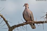 Streptopelia_vinacea003.Kidepo_Valley_N.P.Uganda.13.11.2012