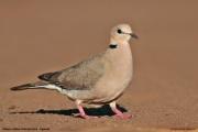 Streptopelia_vinacea002.Kidepo_Valley_N.P.Uganda.13.11.2012