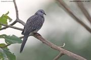 Streptopelia-chinensis005.Udawalawe-NP.Sri-Lanka.28.11.2018