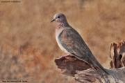 Streptopelia_senegalensis006.Tsavo_East_N.P.Kenia.PJ.22.09.2011