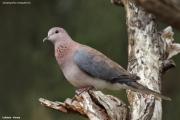 Streptopelia_senegalensis007.Mpala_R.C.Kenia.PJ.3.12.2014