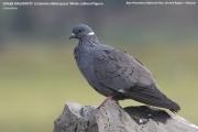 016.005.Columba_albitorques001.Podnoze_Bale_Mt.Etiopia.14.11.2009