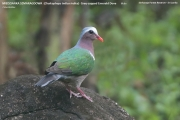 016.231.01.Chalcophaps-indica001.Male_.Sinharaja-Forest-Reserve.Sri-Lanka.27.11.2018