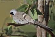 016.238.Oena_capensis001.Male.Samburu_N.R.Kenia.1.12.2014