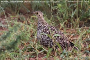 017.Pterocles_bicinctus02.Female.Mahango.Namibia.25.02.2014