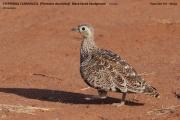 017.Pterocles_decoratus02.Female.Tsavo_East_N.P.Kenia.PJ.21.09.2011
