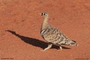 Pterocles_decoratus04.Male.Tsavo_East_N.P.Kenia.21.09.2011
