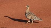 Pterocles_decoratus06.Male.Tsavo_East_N.P.Kenia.21.09.2011