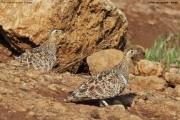 Pterocles_decoratus07.Female.Buffalo_Springs_N.R.Kenia.30.11.2014