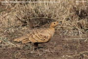 017.Pterocles_exustus01.Male.Awash_N.P.Etiopia.23.11.2009