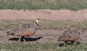 Pterocles_gutturalis05.Male.Masai_Mara_N.R.Kenia.11.12.2014