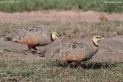 Pterocles_gutturalis07.Male.Masai_Mara_N.R.Kenia.11.12.2014